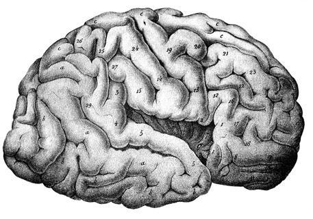 cerebral cortex gallery
